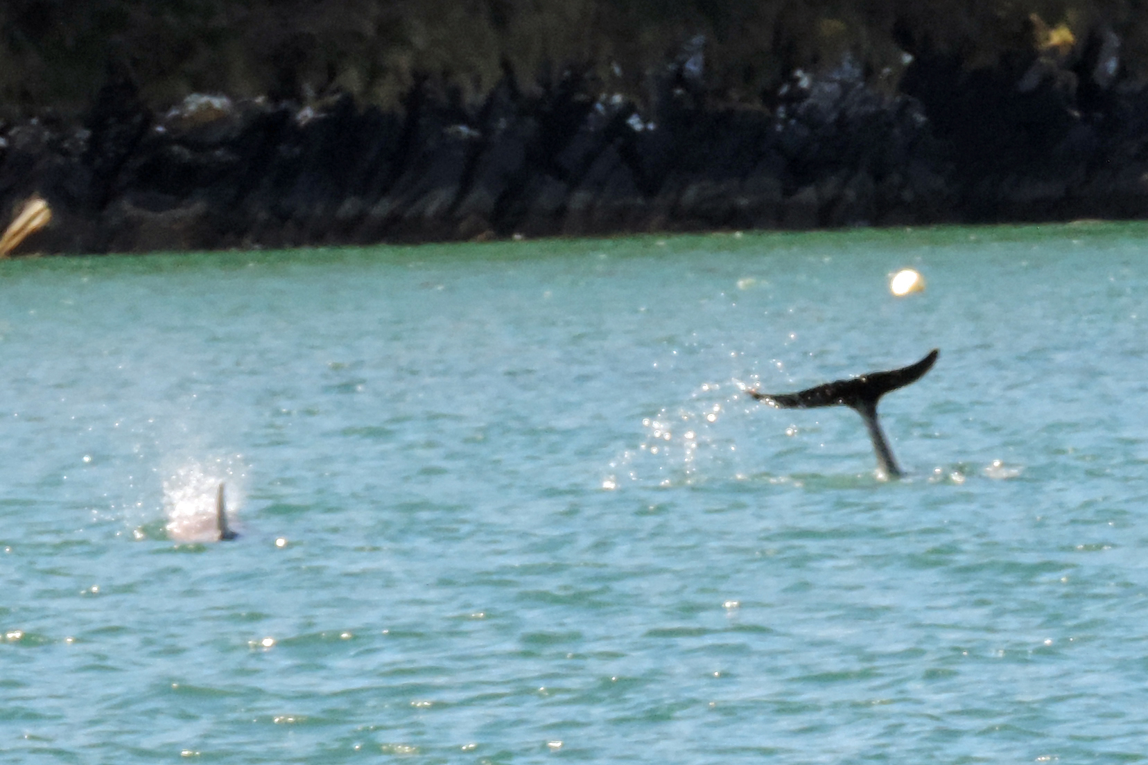 Dolphins spotted on the Helford