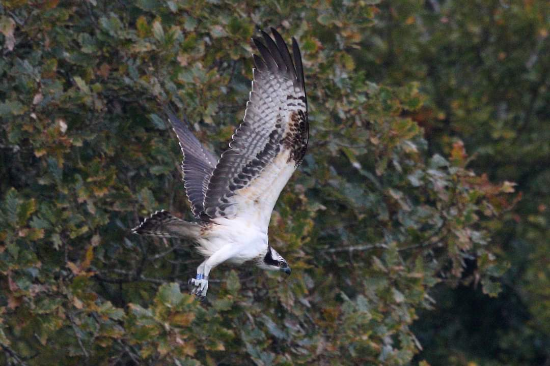 Osprey spotted near the Helford